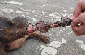 狗兒後腿被夾斷白骨外露 救援人驚:不敢再吃雞腿!