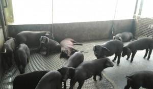為黑豬保種請命!自救會豬農籲研發本土黑豬飼料