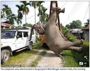 電線離地僅60公分...2隻無辜大象誤觸電斃