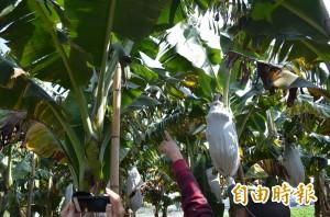 香蕉頻失竊 蕉農組巡邏隊:「捉到先給一頓粗飽」