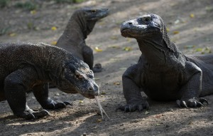 盜獵鹿隻害科摩多龍吃不飽 印尼關閉國家公園1年