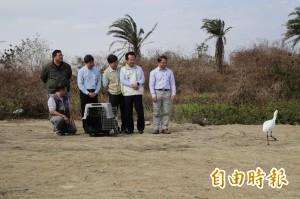 台灣第84隻!軟腳黑面琵鷺復原了 布袋廢鹽灘原地野放