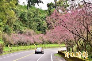 太美了!宜蘭台7線 2萬株緋紅櫻花盡收眼底
