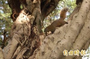 「台灣栗鼠」大鬧日本 破壞當地農業及生態