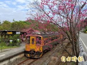 搭火車賞櫻趣!內灣支線旁櫻花盛開了
