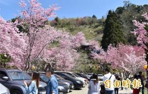 超美!北橫櫻花季將登場 粉嫩櫻花接力炸開