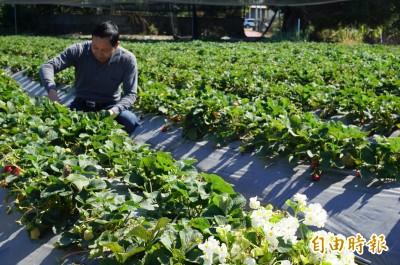 暖冬影響 平地草莓產量也縮水