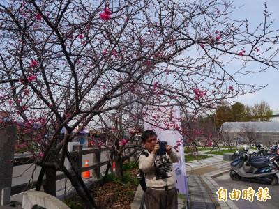 泰安櫻花季登場 預估二二八連假盛開