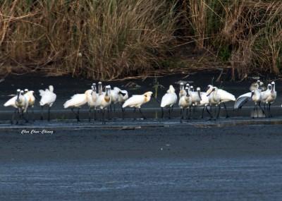 黑面琵鷺數量再創紀錄 高屏溪口升格為度冬區