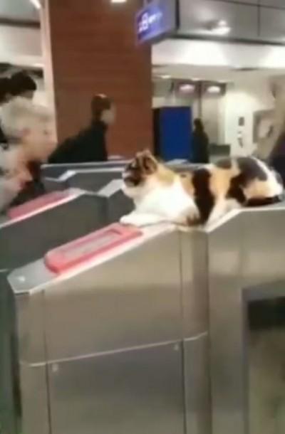 地鐵乘客都融化了! 刷卡進站竟有可愛貓貓在迎接