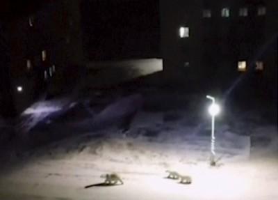北極熊大軍撤退 俄羅斯新地島解除緊急狀態