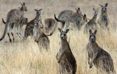 澳議員稱「血腥中國佬」是澳洲生物威脅 中方痛批辱華