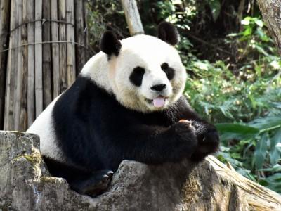 大貓熊家族最愛栗子大餐 火龍果竟一腳踩爛