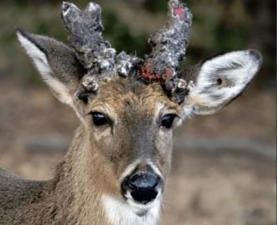 恐怖「喪屍鹿」蔓延全美24州! 專家憂:恐傳染人類