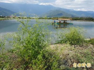 國際大毒草銀膠菊 入侵國家級重要濕地池上大坡池