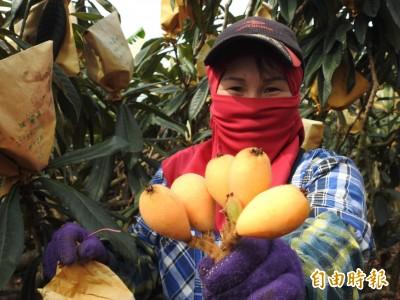 又是暖冬少雨害的!國姓枇杷減產 農民忍痛疏果顧品質