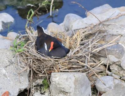 珍貴!彰化大排內300隻紅冠水雞棲息 上百巢孵蛋