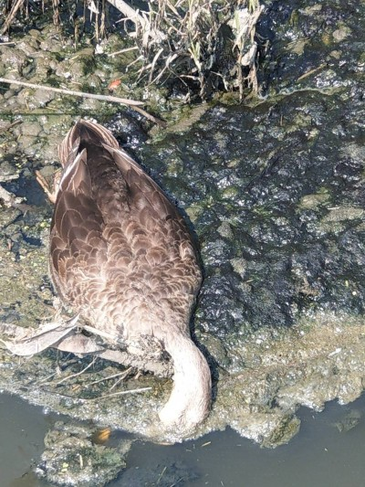 疫情不明…高屏溪大量水鳥暴斃 威脅黑面琵鷺棲息地