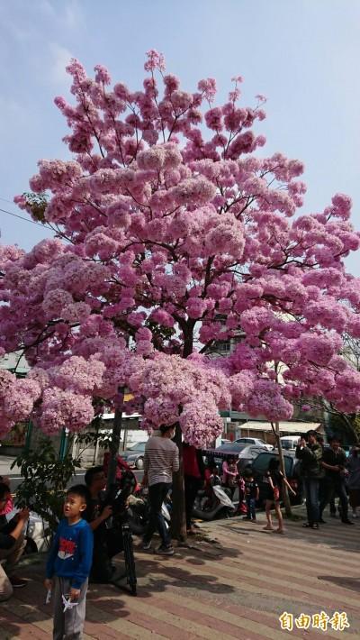 1棵樹打敗1條「龍」!八卦山天空步道人氣不如花…