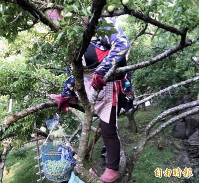 南投青梅、枇杷旱災欠收 今起至13日受理救助申請