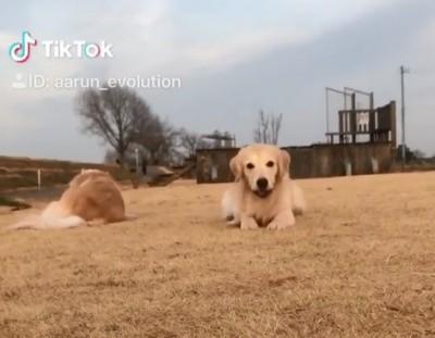 黃金獵犬趴地匍匐前進 見鏡頭「一秒燦笑」萌翻網友