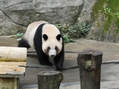 中國打算送貓熊給高雄  陸委會:要沒有這「前提」!