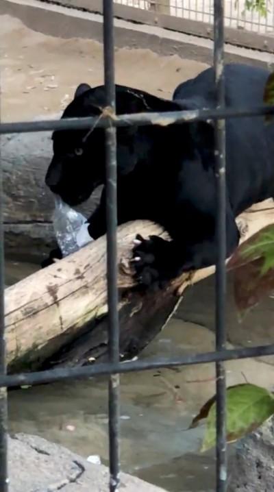 黑豹抓傷攀爬自拍的女子 動物園:牠沒有錯不會被撲殺