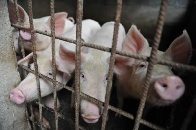 最新疫情在車上! 四川外地調入生豬發現非洲豬瘟
