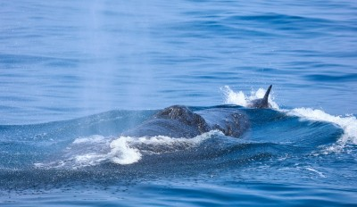 海上鯨喜!罕見大翅鯨連續3年花蓮見