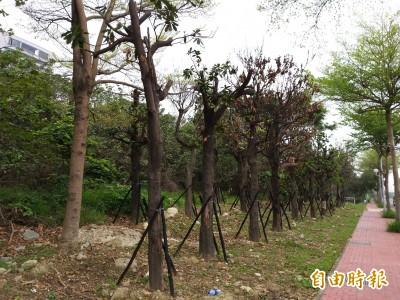 竹北光明一路更換行道樹 移植挨批宛如「集中營」