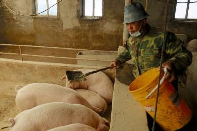 中稱「豬瘟疫情趨緩」21省解禁 我國農委會「無法相信」