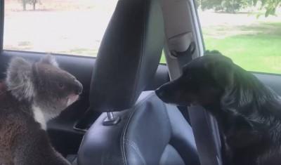 賴著不走!無尾熊闖入車內爽吹冷氣 主人和狗狗全看傻