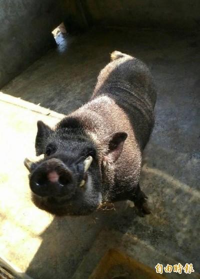 百斤山豬上網開放領養 鄉民:不要選到市場賣肉的!