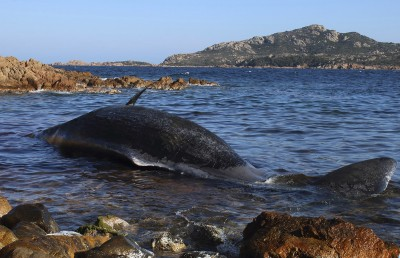 母鯨懷胎近臨盆 吞22公斤塑膠袋釀一屍二命