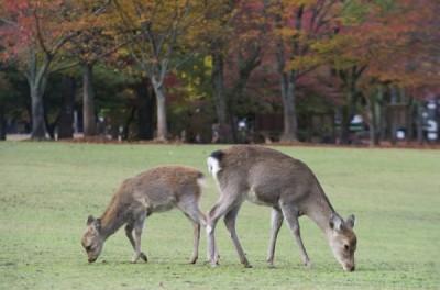奈良母鹿虛弱死亡 胃裡挖出3.2公斤結塊塑膠袋