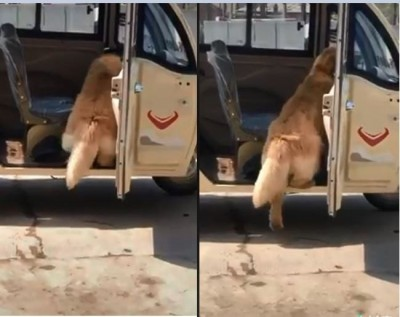 主人等等我!短腿黃金獵犬想下車踏不到地 模樣笑翻網友