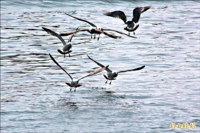 模仿「海鷗尖叫」趣味比賽  比利時小鎮首辦掀熱潮