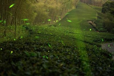 難得一見!螢火蟲夜訪茶園 「螢河」美景超犯規