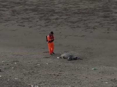 1公尺大海龜 腹破、頸傷癱死中港溪口