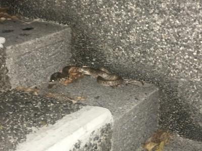 驚!新莊運動公園蛇出沒 動保處:不排除惡意棄養
