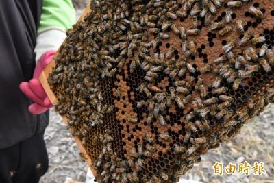 龍眼荔枝不開花 蜜蜂採不到蜜 蜂農快哭了