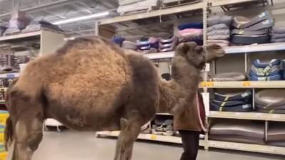 驚! 駱駝逛大街 造訪寵物用品店引圍觀
