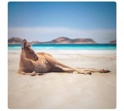 別再用食物引誘袋鼠拍照! 澳洲政府:亂餵食會害死牠們
