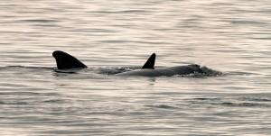 瀕危北大西洋露脊鯨新生兒破7隻 疑現「迷你嬰兒潮」