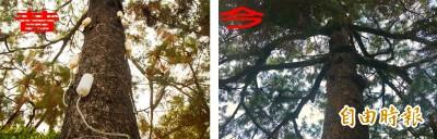 獨家》清水岩價值3千萬神樹罹病瀕死 奇蹟被救活