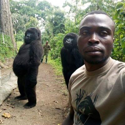 大猩猩與人類自拍姿勢太帥 網友驚呼:工讀生快出來