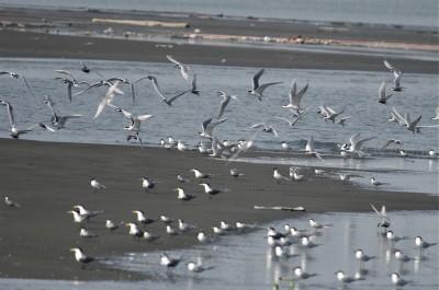 過境鳥「新樂園」!歷年首見 高屏溪口淤積到可通行
