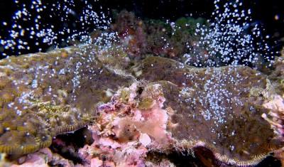 聽媽祖的話!墾丁珊瑚準時產卵大爆發