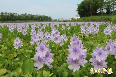 美麗的哀愁!滯洪池開滿浪漫紫花 濕盟憂水質惡化