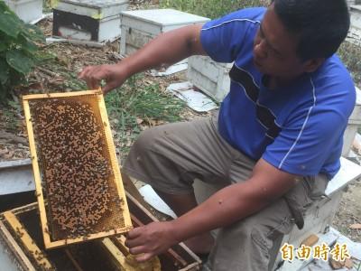 暖冬旱災蜂蜜減產只剩往年1成 農委會提出補救措施